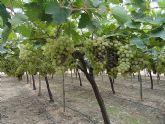 El Pleno apoyará las demandas de las organizaciones agrarias y productores de uva de mesa