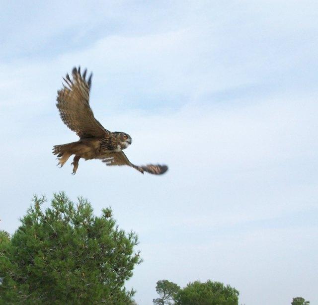 Presidencia libera cuatro búhos reales curados en el Centro de Recuperación de Fauna Silvestre - 1, Foto 1