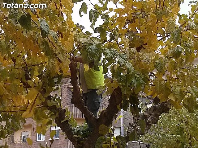 Begin the pruning of mulberry trees on public roads and parks and gardens of Totana in the winter campaign