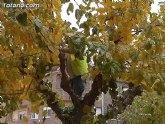Comienzan los trabajos de poda de las moreras en las vías públicas y parques y jardines de Totana dentro de la campaña de invierno