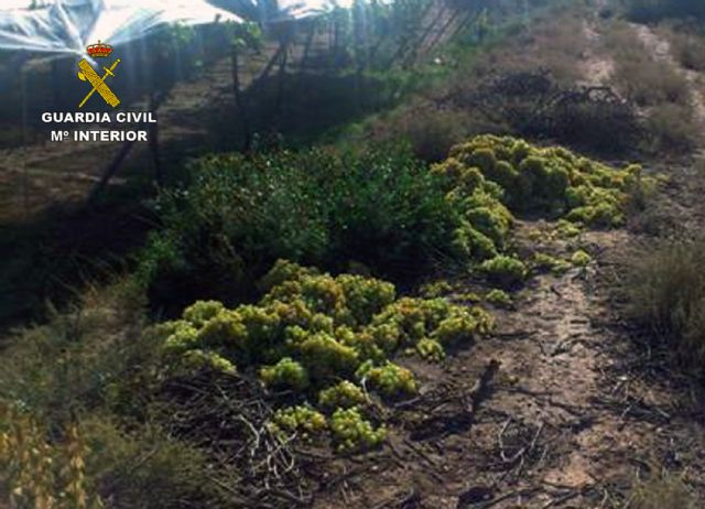 The Civil Guard dismantled a criminal group dedicated to the removal of fruit in Totana, Foto 2