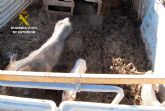 La Guardia Civil detecta en una granja de Molina de Segura más de una decena de animales con graves síntomas de desnutrición
