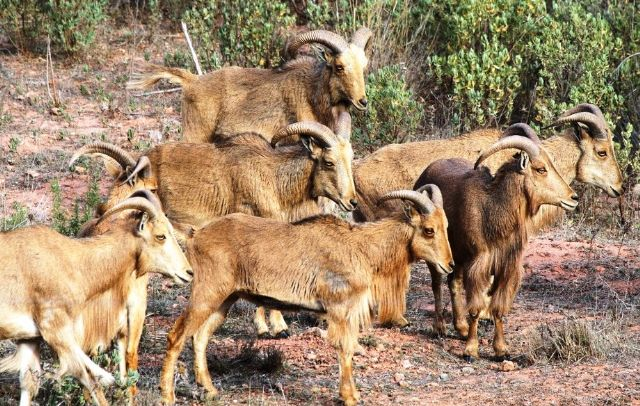 IU-Greens Totana denounces the situation of aoudad in the Natural Park of Sierra Espuña