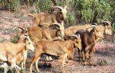 IU-Verdes Totana denuncia la situaci�n de los arru�s en el Parque Natural de Sierra Espuña