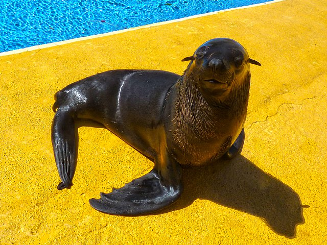 Terra Natura Murcia incorpora a un oso marino al espectáculo con leones marinos - 1, Foto 1