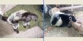 Terra Natura Murcia separa a sus lémures para evitar que se deteriore su pelaje