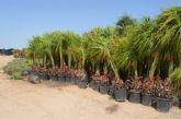 Donan al Ayuntamiento unos 2.000 pinos y 500 palmeras que serán replantadas en todo el municipio