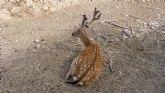 Los gamos ibéricos de Terra Natura Murcia afrontan la recta final del proceso de escoda