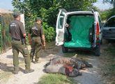 Medio Ambiente advierte sobre el abandono indiscriminado de los cerdos vietnamitas adquiridos como mascotas