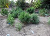 La Guardia Civil detiene a los cuatro responsables de dos plantaciones de marihuana en Espinardo y Cabezo de Torres
