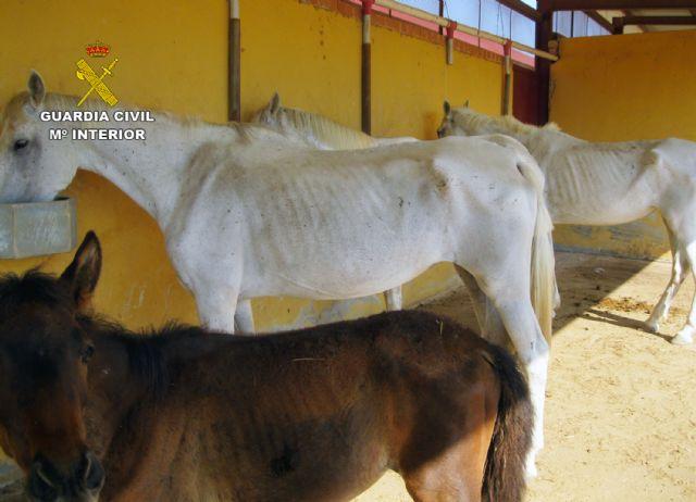 La Guardia Civil inmoviliza cuarenta caballos desnutridos en una explotación equina en Mula - 1, Foto 1