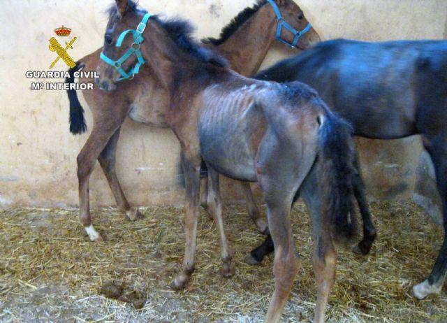 La Guardia Civil inmoviliza cuarenta caballos desnutridos en una explotación equina en Mula - 4, Foto 4