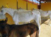 La Guardia Civil inmoviliza cuarenta caballos desnutridos en una explotación equina en Mula