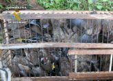 La Guardia Civil decomisa más de medio centenar de aves fringílidas capturadas furtivamente
