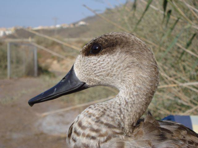 Abatida una cerceta pardilla, especie en Peligro Crítico, en el Parque Natural de Pego-Oliva (Alicante), Foto 1