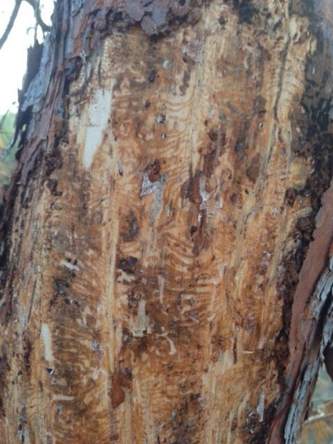 La Consejería de Agricultura declara la Utilidad Pública de los tratamientos y la lucha contra la plaga de perforadores del pino, Foto 1