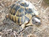 Voluntarios de toda España participan en el 'Proyecto Testudo' de seguimiento de la tortuga mora en Puerto Lumbreras