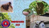 Protección Civil de Totana cuenta con un servicio especial de recogida de enjambres de cara a la época primaveral