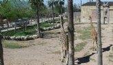 Terra Natura Murcia recibe una de las tres jirafas pendientes de llegar al parque