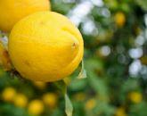Asaja Murcia considera como 'positiva y halagüeña' la campaña del limón verna