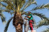 El Ayuntamiento abre la temporada de poda de palmeras