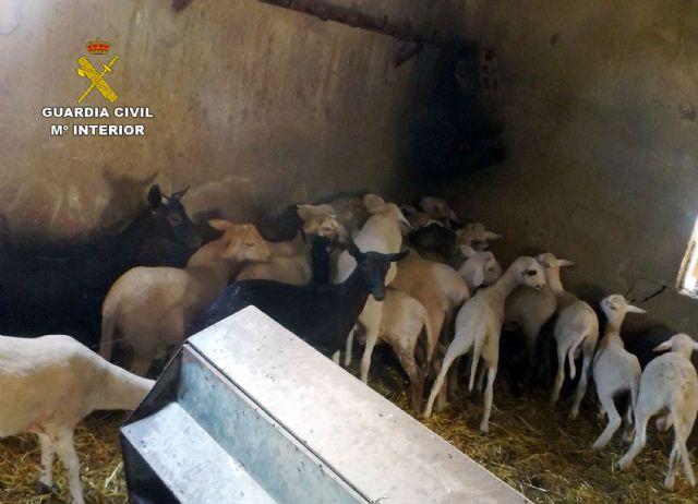 La Guardia Civil esclarece el robo de una treintena de corderos en fincas ganaderas de Lorca - 5, Foto 5