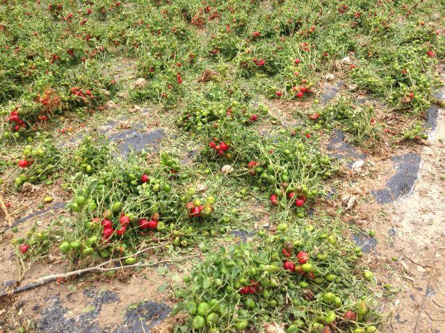 Graves daños en cultivos de Alhama y Totana por la tormenta de granizo del pasado lunes, Foto 3