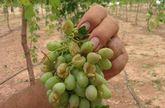 Graves daños en cultivos de Alhama y Totana por la tormenta de granizo del pasado lunes