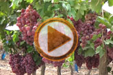 Se pone en marcha un dispositivo de seguridad para evitar los robos en parrales de uva de mesa