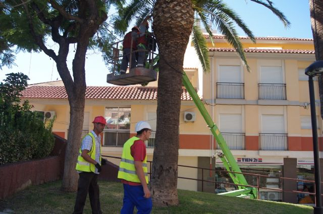 They make a plan and maintenance pruning of palm trees in the parks and gardens of Totana