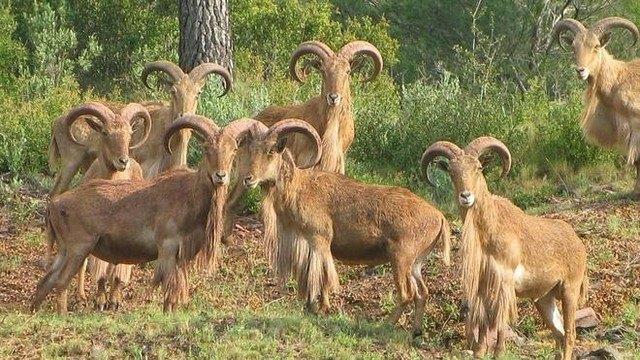 APESE y COAG piden que desaparezca la reserva de caza del arrui de Sierra Espuña, Foto 1