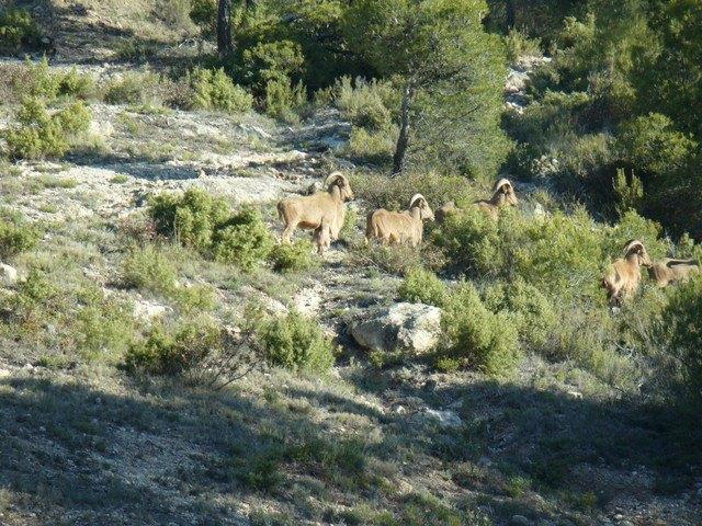 APESE y COAG piden que desaparezca la reserva de caza del arrui de Sierra Espuña, Foto 3