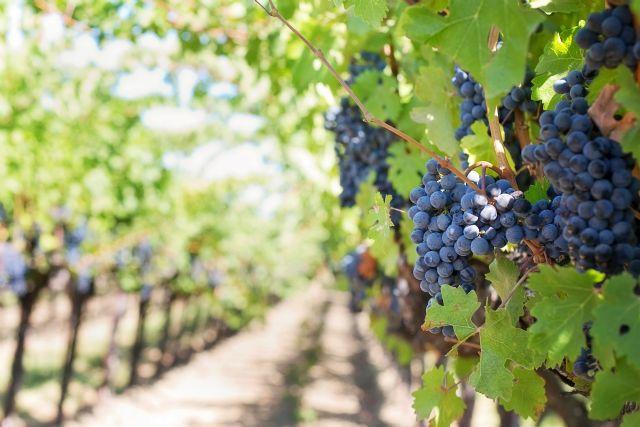 Un grupo de investigación de la UMU y del IMIDA trabaja para mejorar las características de los vinos de la Región de Murcia - 1, Foto 1