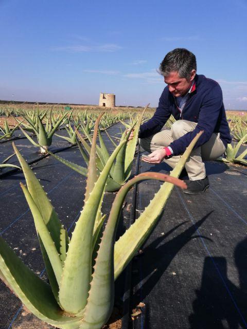 El cultivo de aloe vera aumenta su superficie cultivada un 53,84 por ciento en la Regi�n, Foto 1
