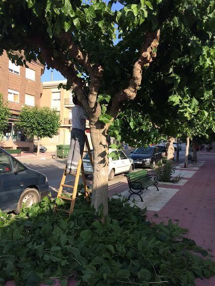 Comienzan los trabajos de poda de las moreras en parques y jardines y las vías públicas de Totana, Foto 2