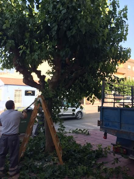 Comienzan los trabajos de poda de las moreras en parques y jardines y las vías públicas de Totana, Foto 3
