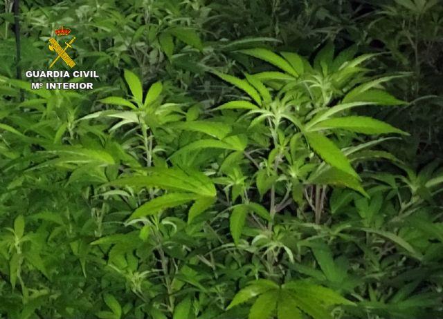 La Guardia Civil desmantela cuatro invernaderos clandestinos de marihuana en Los Alcázares - 5, Foto 5