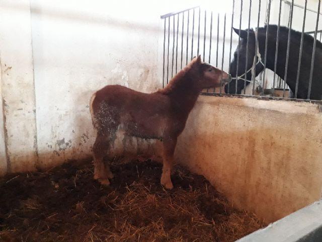 Un pony abandonado en las inmediaciones de Los Pilones encuentra un hogar - 2, Foto 2