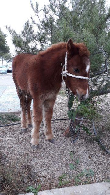 Un pony abandonado en las inmediaciones de Los Pilones encuentra un hogar - 3, Foto 3
