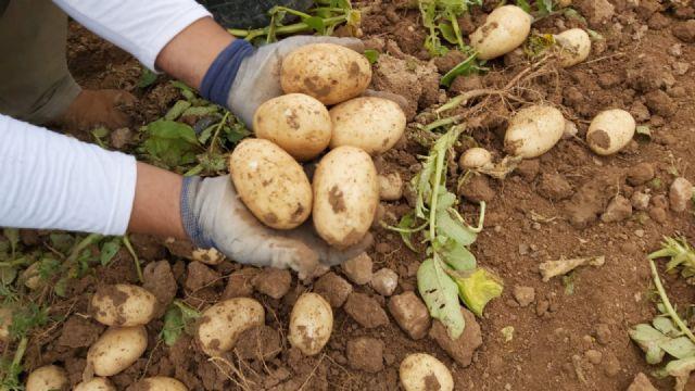 El sector de la patata murciana afronta la peor crisis de la última década - 1, Foto 1