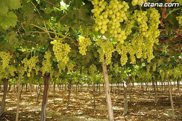 La producción de uva de mesa genera 120 millones y más de 15.000 empleos en la Región, Foto 1