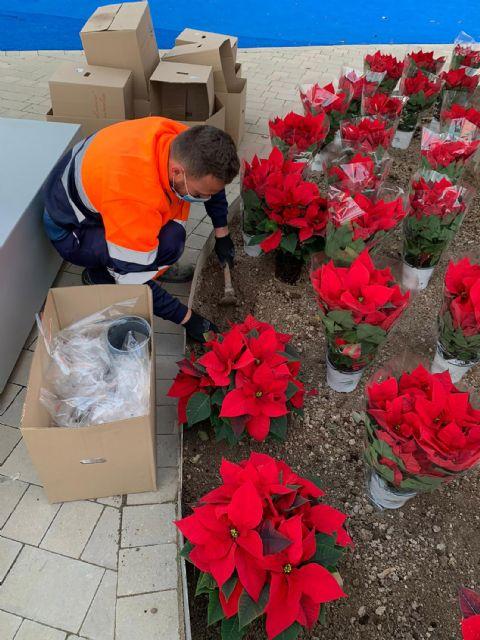 El color de la Navidad llega a los espacios verdes de Las Torres de Cotillas con 3.000 flores de Pascua - 2, Foto 2