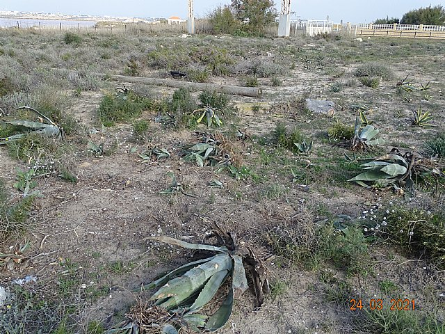 ANSE retira más de 30 m3 de Especies Exóticas Invasoras en los arenales de San Pedro del Pinatar - 2, Foto 2