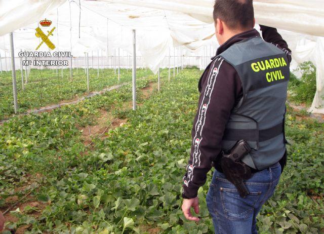 La Guardia Civil desmantela una plantación de marihuana sembrada en un melonar - 1, Foto 1