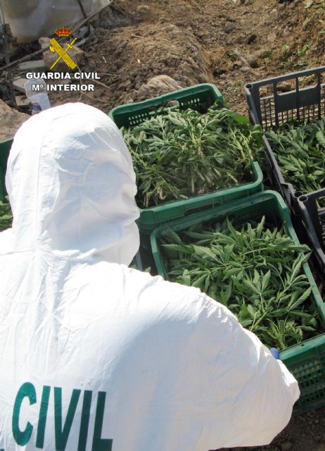 La Guardia Civil desmantela una plantación de marihuana sembrada en un melonar - 5, Foto 5