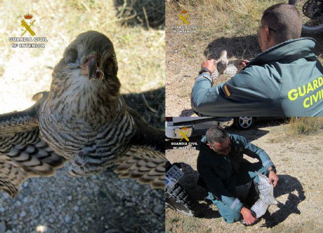 La Guardia Civil investiga a tres cazadores por la muerte de un gavilán en Moratalla - 1, Foto 1