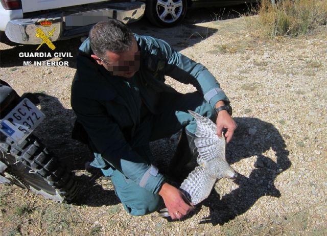La Guardia Civil investiga a tres cazadores por la muerte de un gavilán en Moratalla - 2, Foto 2