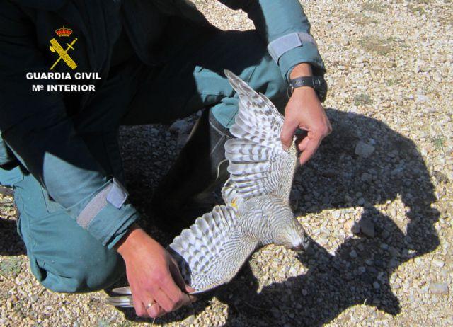 La Guardia Civil investiga a tres cazadores por la muerte de un gavilán en Moratalla - 3, Foto 3