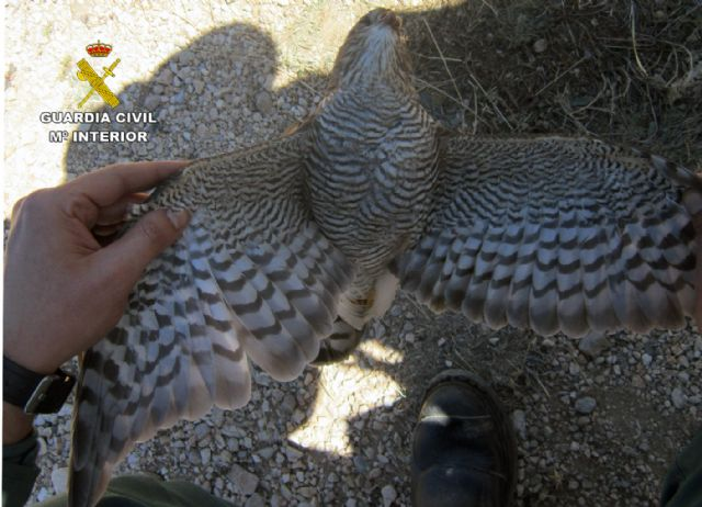 La Guardia Civil investiga a tres cazadores por la muerte de un gavilán en Moratalla - 4, Foto 4