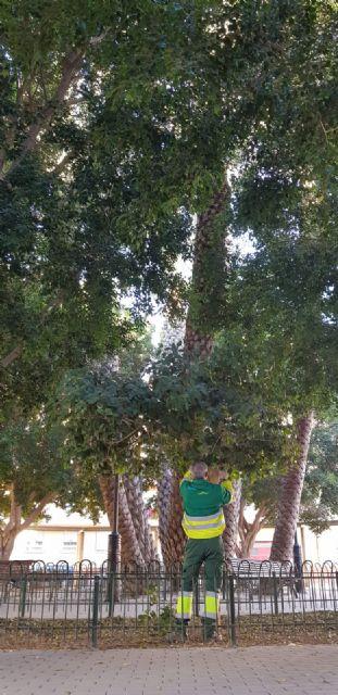 Sermubeniel y el Ayuntamiento de Beniel inician una campaña de mantenimiento de los Ficus del municipio - 1, Foto 1
